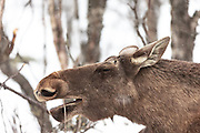 Closeup picture of a moose easing on a twig. Captured outside Langedrag Wildlife park | Nærbilde av en elg som spiser på en kvist. Bildet er tatt rett utenfor Langedrag naturpark.