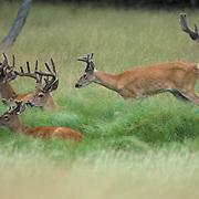Whitetail Deer, (Odocoileus virginianus) Bucks in velvet in meadow bedded down. Late summer.