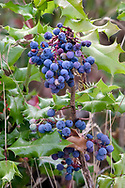 Berries of the Tall Oregon Grape (Mahonia aquifolium) at what used to be farmland at Blackie Spit - near Crescent Beach in Surrey, British Columbia, Canda.