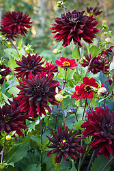 Dark dahlia collection. Dahlia 'Rip City', 'Chat Noir' and 'Bishop of Auckland'