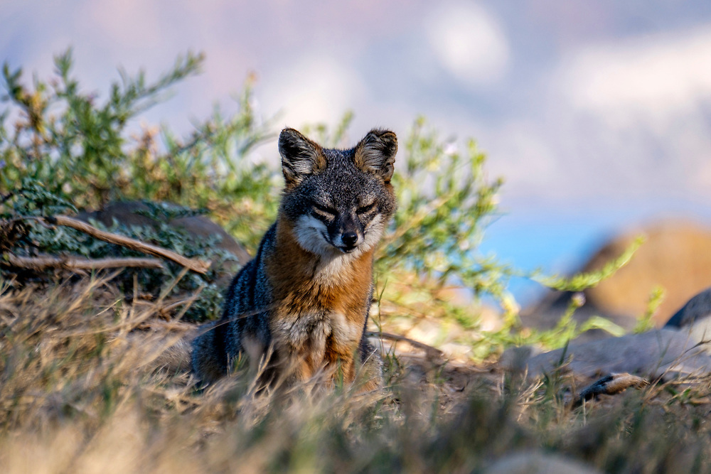 This was the first time we spotted these Island foxes (Urocyon littoralis), which are found only on these islands in the National park.