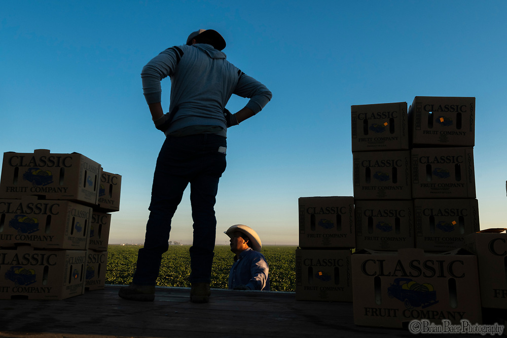 Classic Fruit harvests cantaloupe melons, Tuesday, August 31, 2021.<br /> Photo Brian Baer
