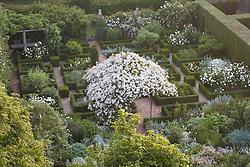 Overhead view of Rosa mulliganii in full flower in the White Garden at Sissinghurst Castle