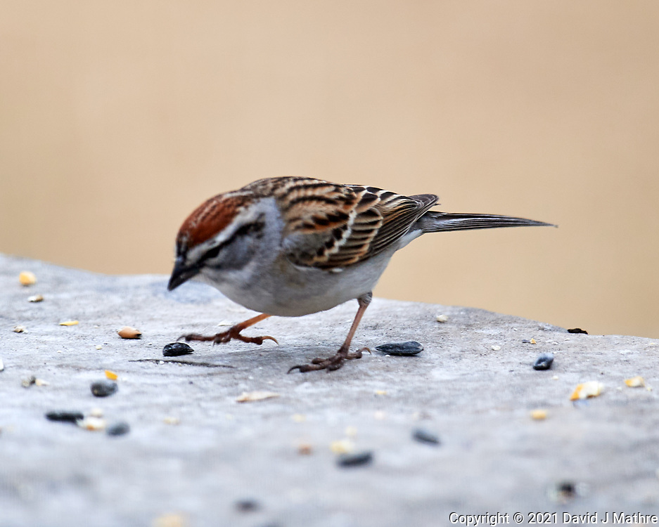 Chipping Sparrow (Spizella passerina). Image taken with a Nikon D5 camera and 600 mm f/4 VR lens.