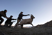 Biologists release the sheep once all samples are gathered. The data will be compiled and analyzed to determine the overall health of the herd.