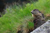 Alpine Marmot (Marmota marmota) sitting on a rock at cloudy afternoon. Hohe Tauern National Park, Carinthia, Austria