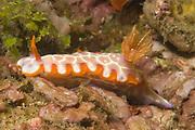 Fish Net Hypselodoris.(Hypselodoris iacula).Lembeh Straits,Indonesia