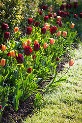 Tulipa 'Jan Reus' and Tulipa 'Apricot Foxx' in a border at the base of a hedge