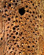 Acorns and Nest Hole of Acorn Woodpecker in Douglas-fir, Phillip Burton Wilderness,Point Reyes National Seashore, California