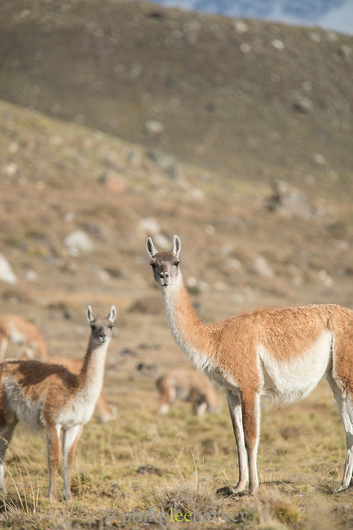 Portrait of two Guanaco (Lama guanicoe) looking at camera, Torres del Paine National Park, Chile