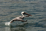 Brown Pelican (Pelecanus occidentalis urinator)<br /> Puerto Ayora. Santa Cruz Island, GALAPAGOS ISLANDS<br /> ECUADOR.  South America<br /> These birds are relatives of the frigate birds. However they use their pouches for trapping water and with luck some fish. Brown pelicans are the smallest of the family and the only pelicans which are truly marine and also together with the Peruvian pelicans that plunge-dive to catch their food. They nest in scattered colonies throughout the archipelago. Breeding occurs in any month, although particular colonies are synchronised.