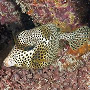 Spotted Trunkfiosh swim around reefs in Tropical West Atlantic, often hover in the openings to small holes and under ledges; picture taken Key Largo, FL.