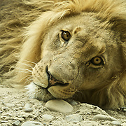 Portrait of a chilling maned male lion.