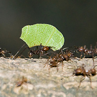 Leaf cutter ants, like these ones in Costa Rica, are common throughout Central America and are vital pieces to the ecosystems here.  Ants are so common that large mammals like the great anteater have been able to evolve and thrive by feeding on the small insects.  (Photo/Billy Byrne Drumm)