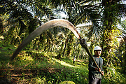 A smallholder uses a scythe on a long pole to harvest palm oil on his plantation in Ukui, Riau Province, Indonesia, on 15 June 2015. This area has become dominated by palm oil production, and some smallholder farmers have formed co-operatives to share costs, increase access to markets, and become certified by the Roundtable on Sustainable Palm Oil. He is part of Amanah, a local cooperative that has helped over 400 farmers become RSPO certified - reducing their use of pesticides and fertilizers, increasing yields, and improving farm management.