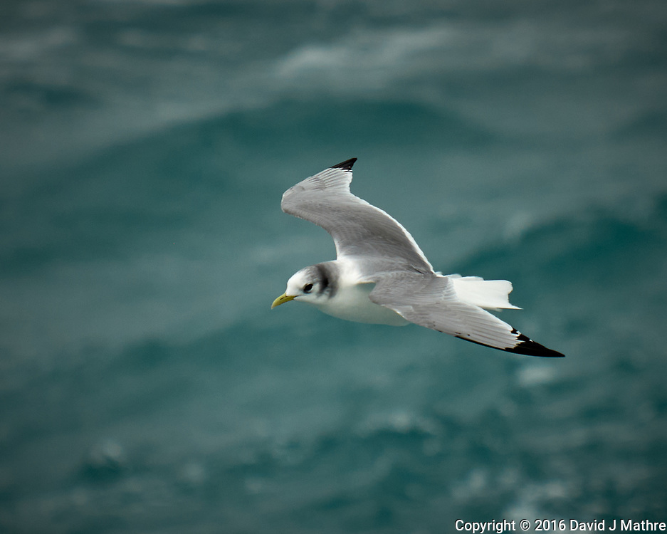 Black-legged Kittiwake viewed from the deck of the MV World Odyssey. Image taken with a Fuji X-T1 camera and 55-200 mm lens (ISO 400, 200 mm, f/4.8, 1/1000 sec).