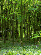 Beech tree (Fagus sylvatica) Denge Woodlands, Kent UK