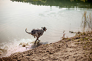 """English Setter Welpe """"Rudy"""" rennt am 19.09. 2017 am Teich von Stara Lysa, (Tschechische Republik).  Rudy wurde Anfang Januar 2017 geboren und ist vor einiger Zeit zu seiner neuen Familie umgezogen."""
