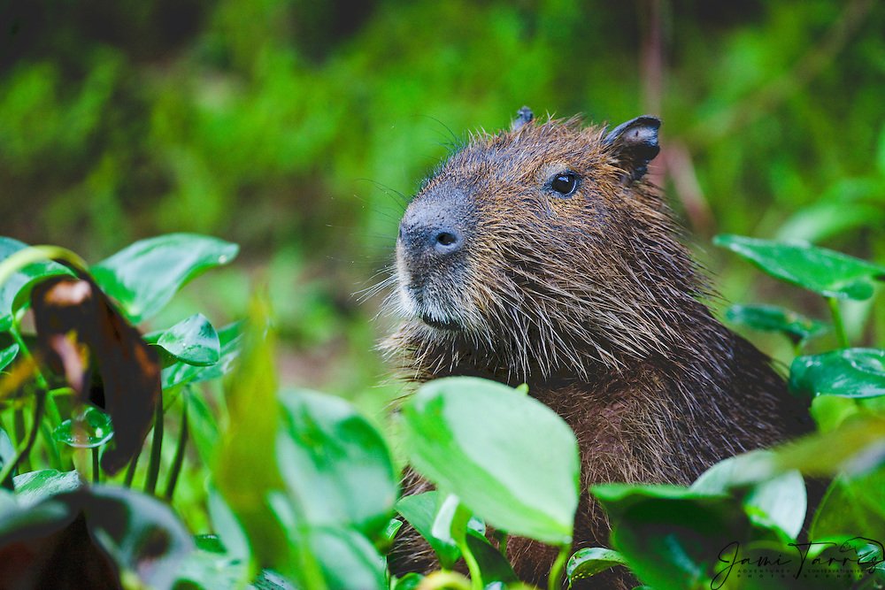 A close-up of a capybara (Hydrochoerus hydrochaeris), the largest living rodent in the world, from behind the leaves, Mato Grosso, Pantanal, Brazil,South America