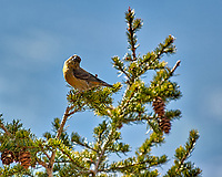 Red Crossbill in Rocky Mountain National Park. Image taken with a Nikon D2xs camera and 70-200 mm f/2.8 lens with TC-E 1.4 teleconverter (ISO 100, 280 mm, f/4, 1/400 sec).