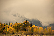 Golden trees of autumn against a backdrop of the Tetons enshrouded in cloud