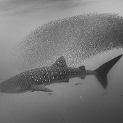 Whale shark (Rhincodon typus) followed by shoal of red fish evading capture, Honda Bay, Palawan, the Philippines.