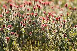 Backlt purple paintbrush (Castilleja purpurea) wildflowers in field near the Red River, Denison, Texas, USA.