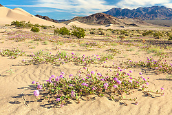"""""""Death Valley Wildflowers 6"""" - Photograph of purple wildflowers in Death Valley. Ibex Dunes can be seen in the background."""