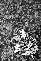 Dalmatian dog camoflaged against the autumn leaves in Pollok Park, Glasgow.