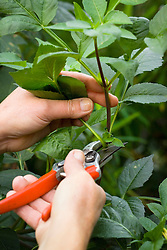 Taking cuttings from dahlias. Taking cutting from vigorous stem using secateurs. Demonstrated by Kathleen Leighton, nursery manager at Great Dixter
