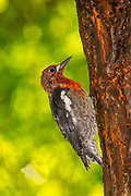 A red-breasted sapsucker (Sphyrapicus ruber) drills holes in an elm tree in Snohomish County, Washington. The red-breasted sapsucker is known for drilling neat rows of shallow holes into trees to collect sap.