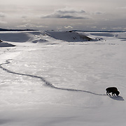 A large bull bison makes his way across the snowy landscape of Hayden Valley.  Yellowstone National Park, Wyoming