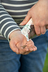 Pouring beetroot seed from a packet into hands ready to sow. Beta vulgaris