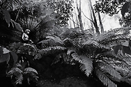 William Rickets Sanctuary - Black and white photo art print of Sculpture of Aboriginal people in the deep woodland of the Dandenon Mountain near Melbourne Australia. Taken 1993 by Paul Williams,
