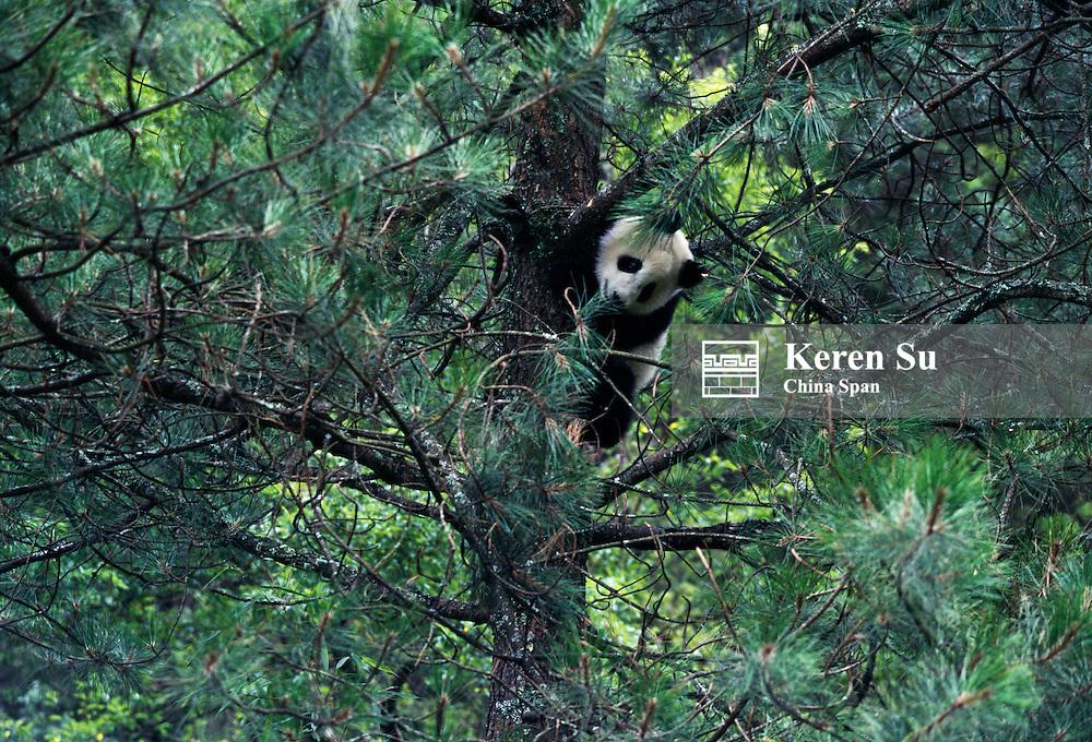 Giant Panda cub on tree, Wolong Panda Reserve, China