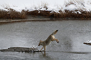 A coyote finishes a jump of a small section of stream along the Madison River in Yellowstone