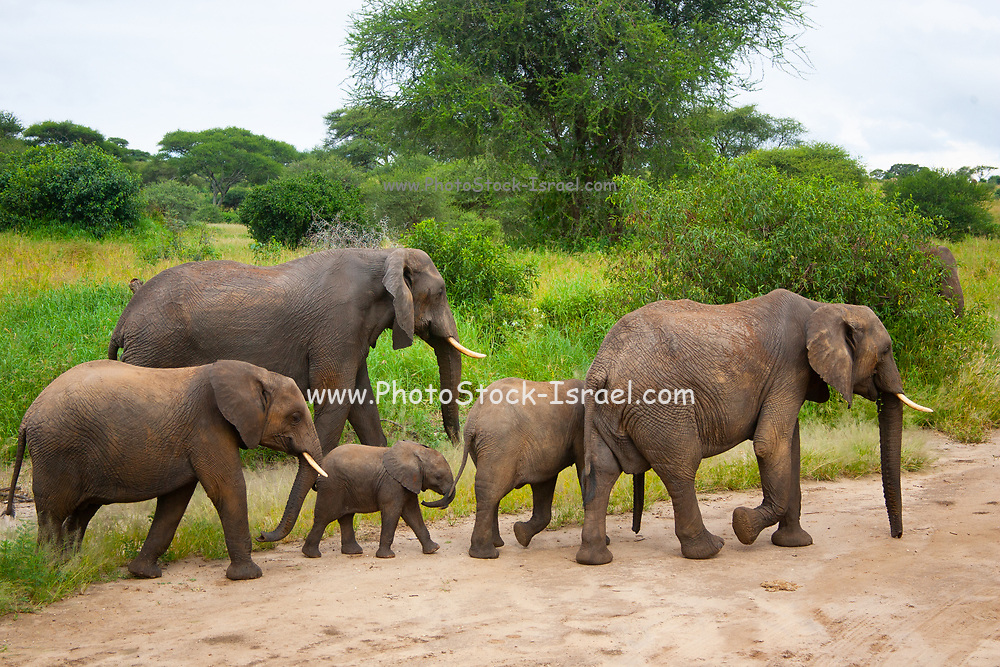 A herd of African Bush Elephant (Loxodonta africana) crossing a river