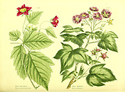 Rubus spectabilis [Elegant American Bramble], Rubus odoratus [Flowering Raspberry] from Vol II of the book The universal herbal : or botanical, medical and agricultural dictionary : containing an account of all known plants in the world, arranged according to the Linnean system. Specifying the uses to which they are or may be applied By Thomas Green,  Published in 1816 by Nuttall, Fisher & Co. in Liverpool and Printed at the Caxton Press by H. Fisher