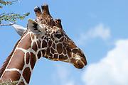 Portrait of a Reticulated Giraffe, (Giraffa camelopardalis reticulata), with a blue sky background. Photographed in Samburu National Reserve, Kenya, in February