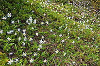 Avalanch Lillys, Mount Rainier National Park, Washington, USA.