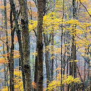 Trees in the forest along the Blue Ridge Parkway explode in vibrant autumn colors near Asheville North Carolina.