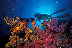 Diver gliding above a Gorgonian skeleton that is covered with colonies of colorful soft coral, Dendronepthya sp., and orange cup coral, Tubastraea sp.  Western Rocky, Mergui Archipelago, Myanmar, Andaman Sea