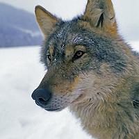 WOLF, Romania. Crai, a captive wolf studied by Carpathian Large Carnivore Project, near Zarnesti in Transylvanian Alps (Carpathian Mountains).