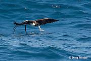 frigate bird, Fregata sp., snatches a Spanish sardine (aka gilt sardine, pilchard, or round sardinella ), Sardinella aurita, out of a bait ball, off Yucatan Peninsula, Mexico ( Caribbean Sea )