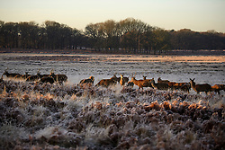 © Licensed to London News Pictures. 05/01/2017. London, UK. Deer seen grazing on a frozen landscape in Richmond Park, London as cold weather continues across the UK. Photo credit: Ben Cawthra/LNP