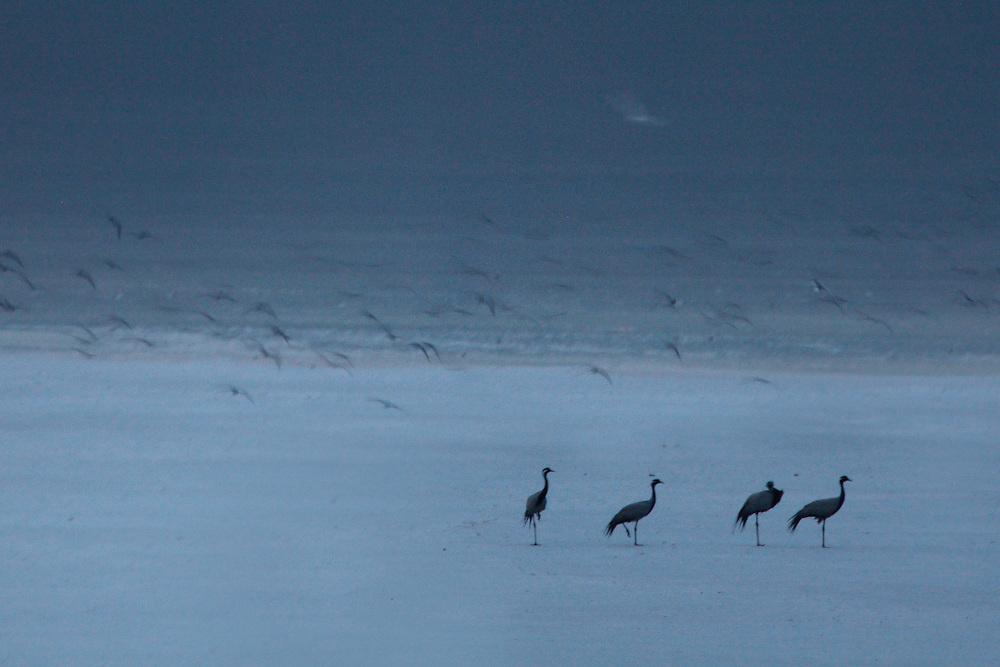 Group of Demoiselle Cranes resting on a salt lake at Bagerova steppe, Kerch Peninsula, Crimea, Ukraine