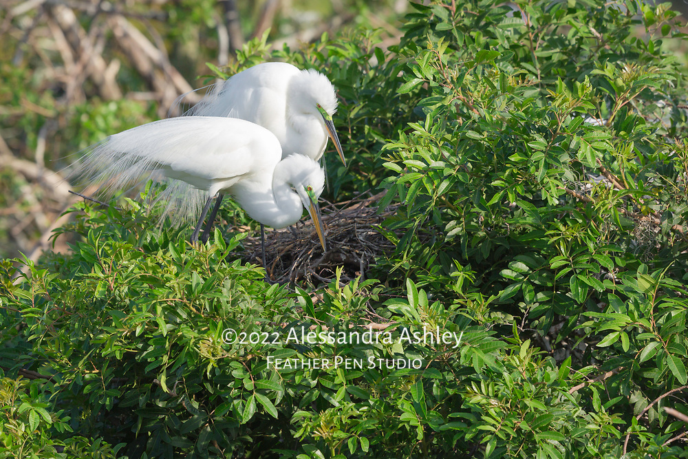Great egret pair perched above nest, peering inside (contents of nest not visible). Both parents show delicate breeding plumage and green lores.