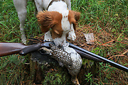 Young English Setter with sharp-tailed grouse