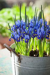 Iris reticulata 'Harmony' in a zinc planter