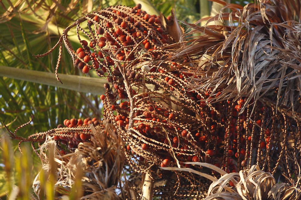 Barreirinhas_MA, Brasil.<br /> <br /> Na foto, o Buriti, palmeira tipica da regiao de Barreirinhas, Maranhao.<br /> <br /> The moriche palm a typical plant in Barreirinhas, Maranhao.<br /> <br /> Foto: LEO DRUMOND / NITRO
